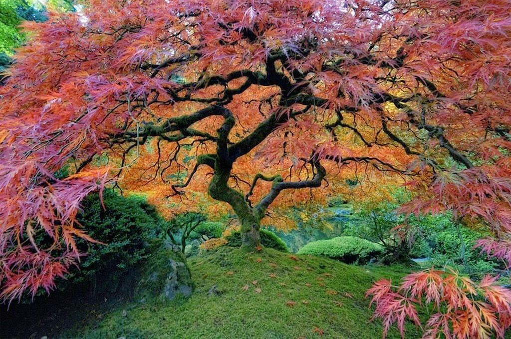 Cây thích Nhật Bản được trồng tại công viên Washington, Mỹ