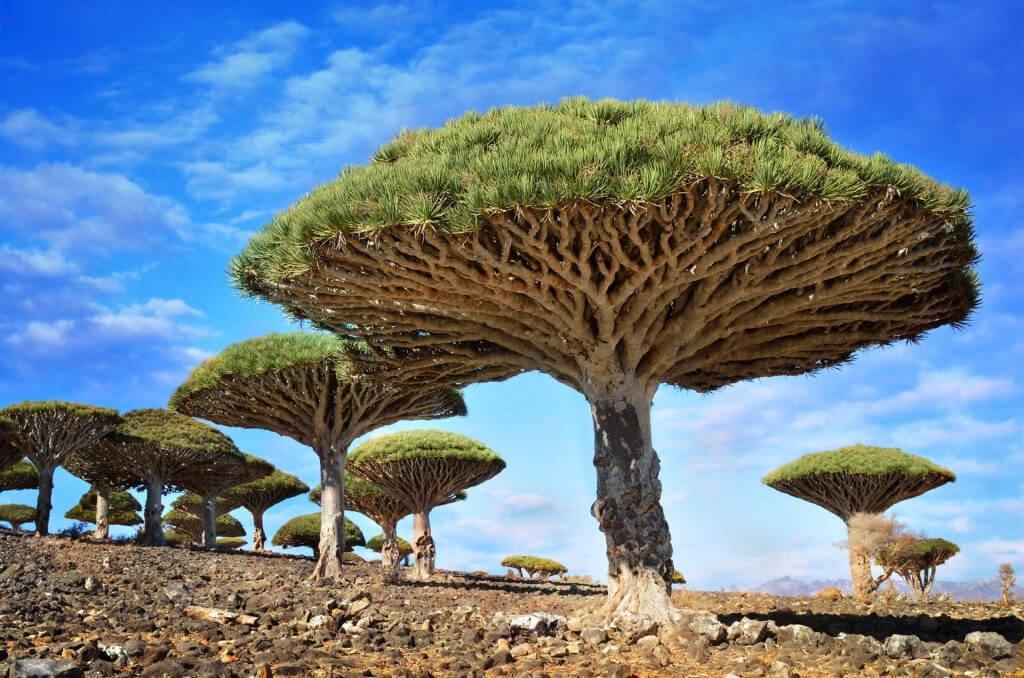 Cây máu rồng (Dragonblood tree) mọc trên quần đảo Socotra, Yemen