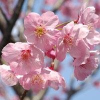 11 loài hoa anh đào rực rỡ nhất Nhật Bản