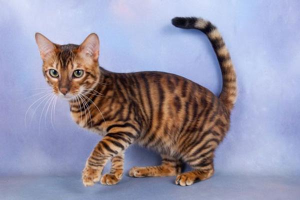 Top 10 loài mèo đẹp nhất thế giới