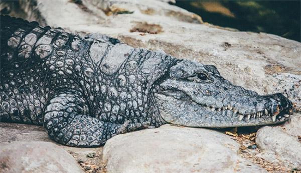 Cá sấu trẻ luôn tin rằng cần phải làm gì đó để có được kết quả