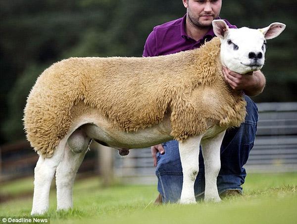 Con cừu Deveronvale Perfection