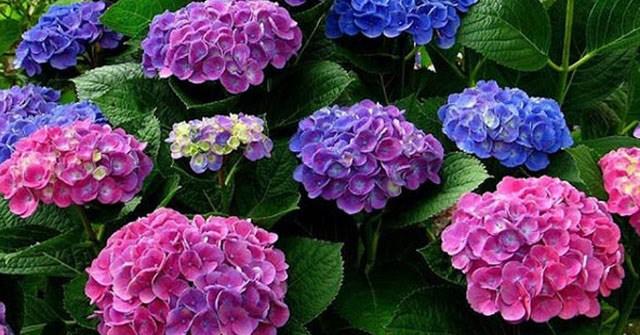 11 loài hoa đẹp nhưng chứa chất kịch độc chết người