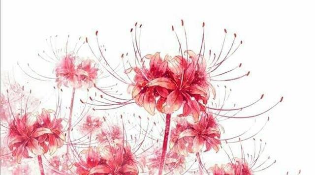 Hình ảnh hoa bỉ ngạn
