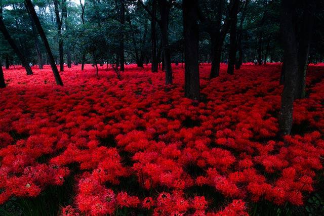 Hình ảnh hoa bỉ ngạn - Tình yêu không trọn vẹn 12