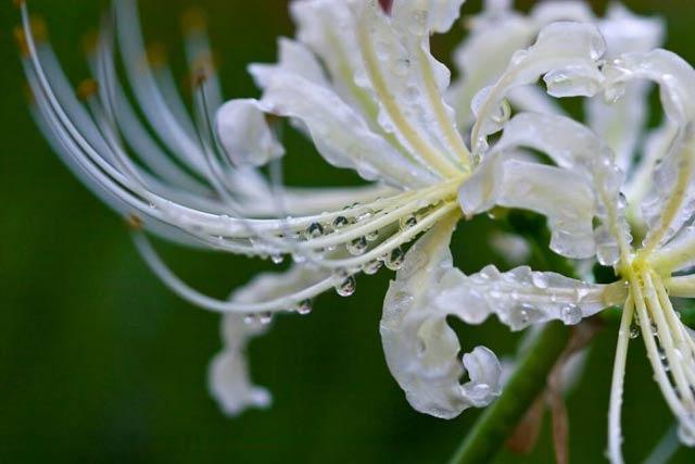 Hình ảnh hoa bỉ ngạn - Tình yêu không trọn vẹn 22