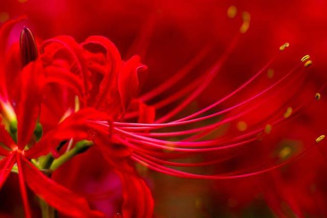 Hình ảnh hoa bỉ ngạn - Tình yêu không trọn vẹn 24