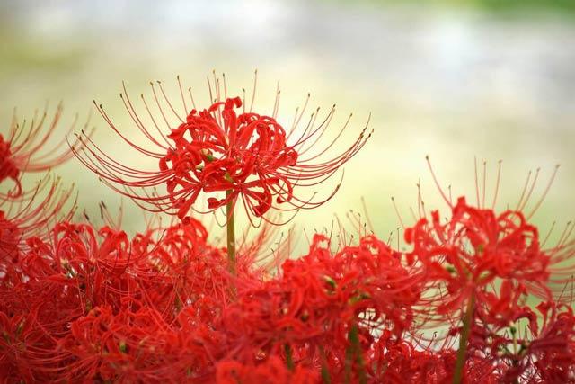 Hình ảnh hoa bỉ ngạn - Tình yêu không trọn vẹn 26