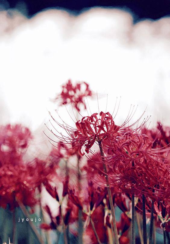 Hình ảnh hoa bỉ ngạn - Tình yêu không trọn vẹn 33
