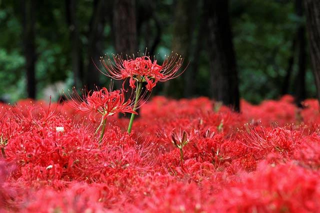 Hình ảnh hoa bỉ ngạn - Tình yêu không trọn vẹn 5