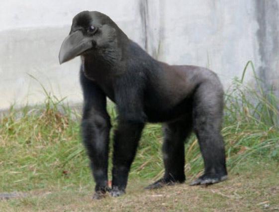 Còn bạn thì sao, lần đầu xem bạn đã nghĩ nhân vật chính trong clip là gì, khỉ đột, quạ hay khỉ lai quạ như trong hình?