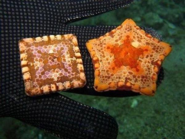 Một số con sao biển có hình vuông do đột biến gen