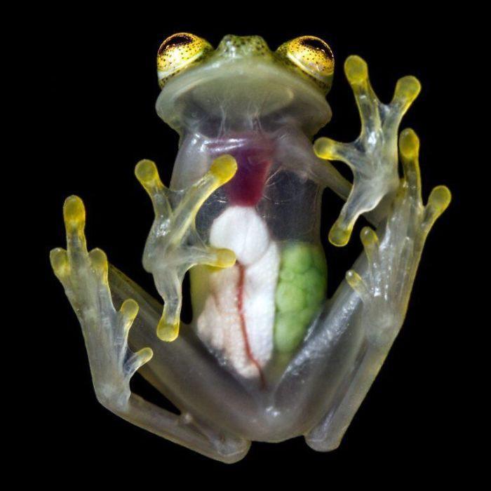 Lớp da ở mặt dưới của ếch thủy tinh hoàn toàn trong suốt