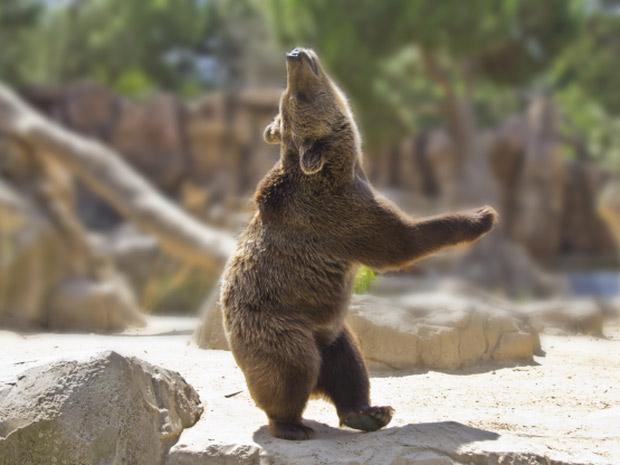 Chú gấu nâu nhảy múa dưới ánh nắng rực rỡ