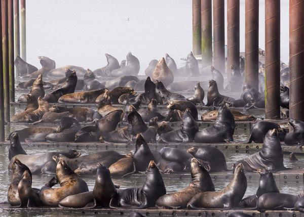 """Bài thi """"California Sea Lions"""" của Robert Potts ghi lại cảnh các cảng tàu tại Astoria bị hải cẩu California xâm chiếm"""