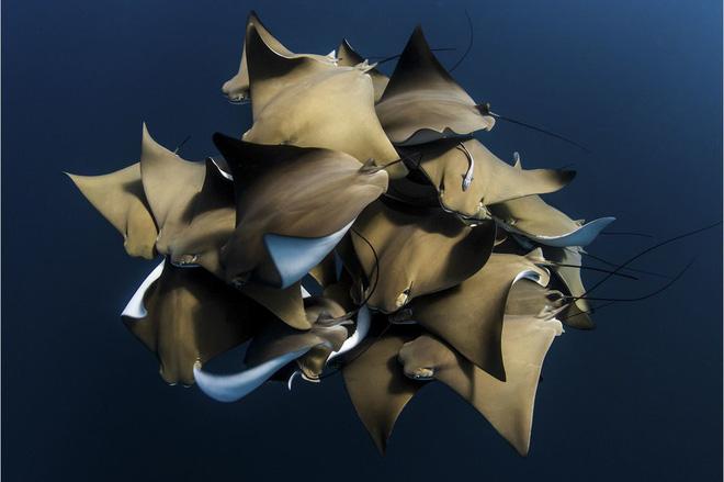 Đàn cá đuối khổng lồ