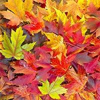 Tại sao lá cây thường đổi màu vào mùa thu?