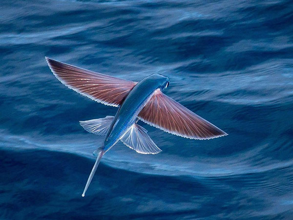 Four-winged flying fish