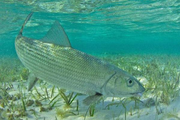 Sardines (Bonefish)