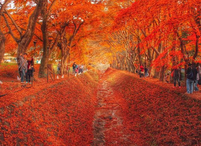 Đường cây phong (Nhật Bản). Ảnh: Sohu.