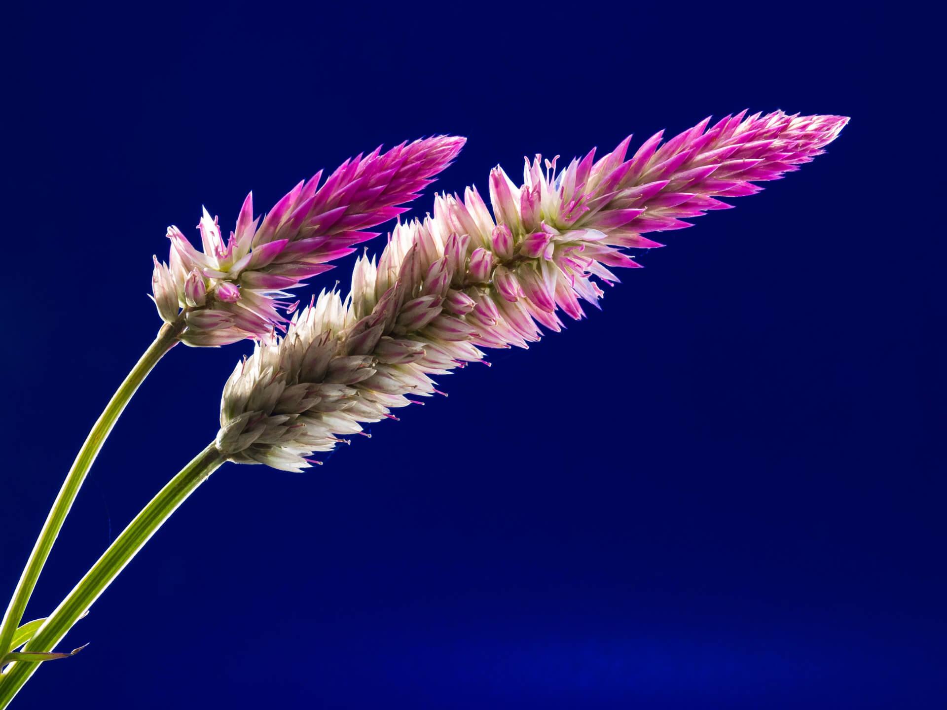 Hoa 2 màu trắng và tím