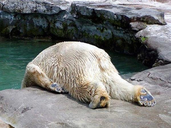 """Có lẽ chú gấu Bắc cực này đã có một đêm """"quẩy"""" tưng bừng"""
