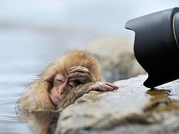Ngay cả việc ngâm mình ở dưới nước cũng không thể khiến chú khỉ tỉnh táo