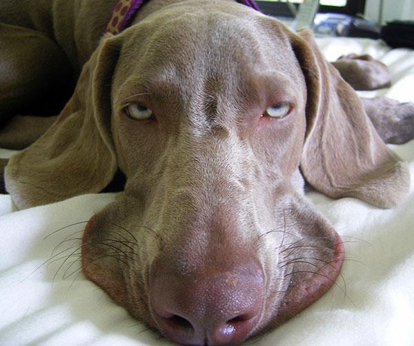 """Chú chó sau một đêm """"hết mình"""" khi tỉnh dậy vẫn chưa hết quay cuồng"""