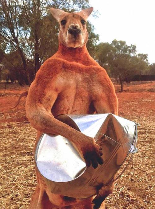 "The muscular male Kangaroo is always ""sought"" by the Kangaroo girls."
