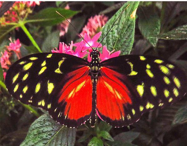 Tithorea tarricina butterfly