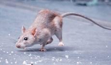 Những sự thật thú vị về loài chuột có thể các bạn chưa biết