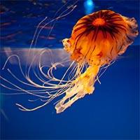 Khám phá bí ẩn đại dương bằng những chú sứa có gắn thiết bị điện tử