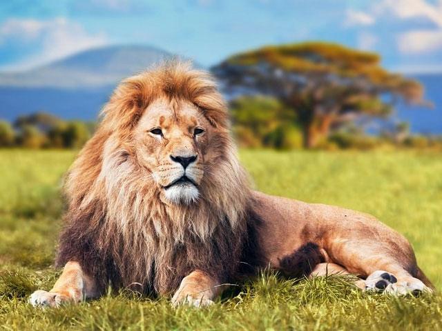 Con sư tử tham lam