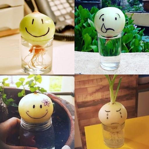 Cách trồng hành tây trong cốc nước vừa trang trí vừa giúp giảm stress, phòng cúm