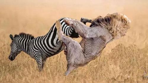 """Ngựa vằn cũng có chiêu thức """"võ công độc môn"""" cực lợi hại"""