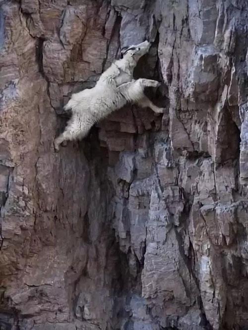 Sơn dương (dê núi) thường leo trèo lên những vách núi dựng đứng