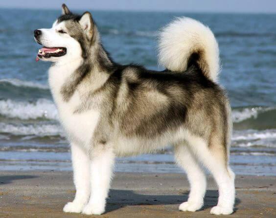 Giống chó Alaska.