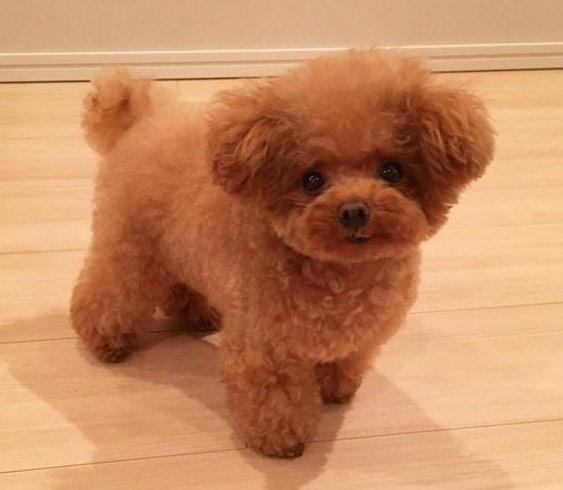 Chó Poodle nâu đỏ dễ thương.
