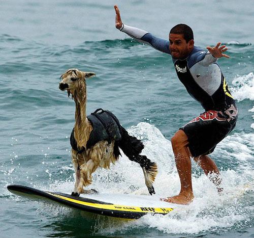 Với một số loài động vật môn thể thao lướt ván chỉ là chuyện nhỏ