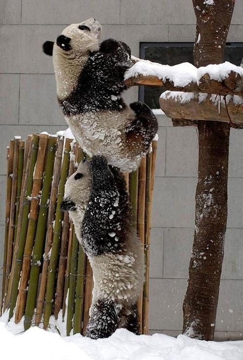 Gấu trúc cũng biết hợp tác, giúp đỡ lẫn nhau