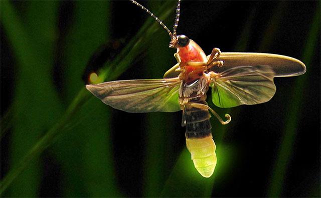 Đom đóm đực sử dụng ánh sáng rực rỡ phát ra từ bụng để liên lạc với nhau