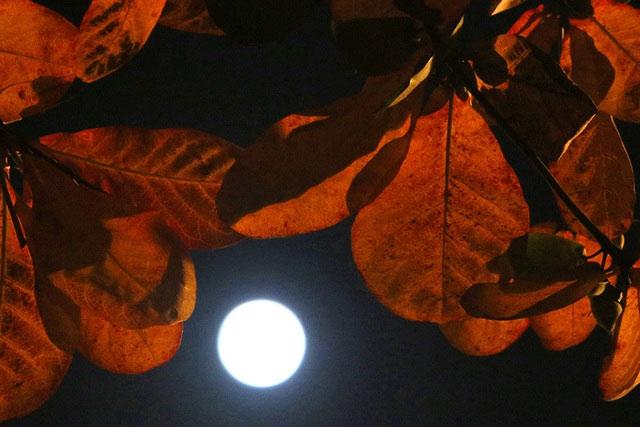Mặt trăng to, sáng rõ lấp ló sau tán lá bàng.