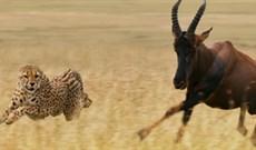 Nghẹt thở xem bầy báo săn phối hợp để hạ gục linh dương