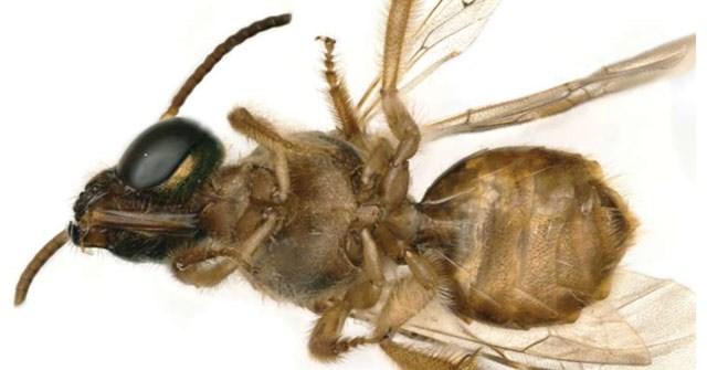 Phát hiện con ong 'nửa đực nửa cái' siêu hiếm
