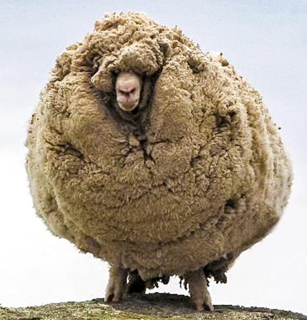 Đây là con cừu 6 năm liền không cao lông