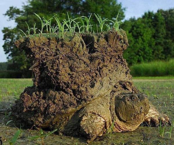Tỉnh dậy sau giấc ngủ đông kéo dài, trên mai chú rùa này là cả một lớp đất dày, thậm chí cỏ cũng đã mọc lên