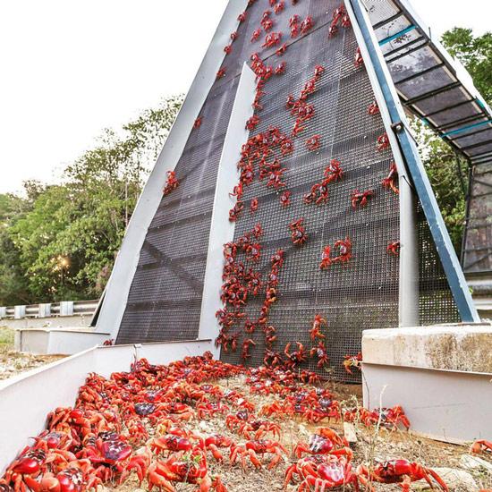Một cây cầu dành riêng cho khoảng 45 triệu con cua đỏ địa phương di cư
