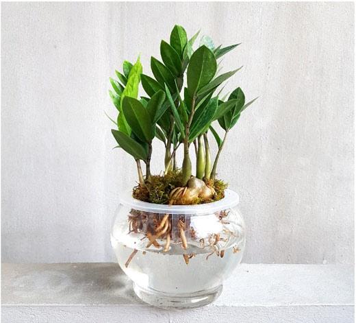 Cách chăm sóc cây kim tiền trồng thủy sinh