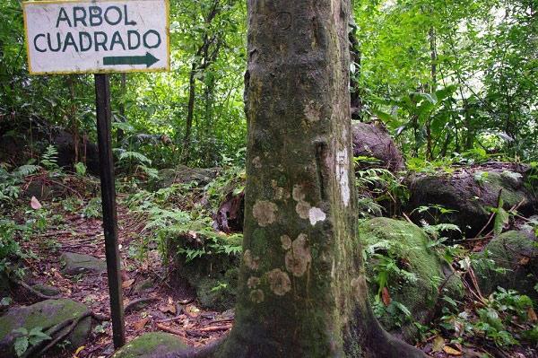Loài cây có phần thân hình vuông