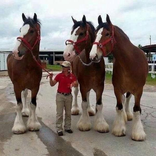 Giống ngựa Clydesdales khổng lồ khiến hầu hết những con ngựa khác trông thật nhỏ bé